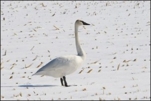 Beautiful Trumpeter Swan on field of snow.
